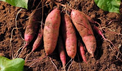 日本蕃薯華御結即食超甜蕃薯微波爐焗爐燴蕃薯農場收成