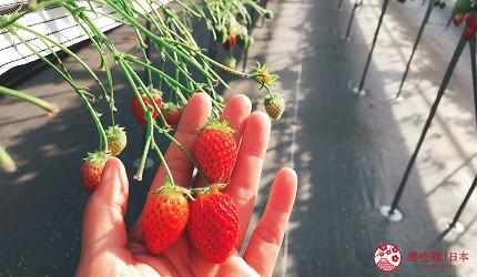 日本東北自由行宮城岩手景點推薦微笑草莓