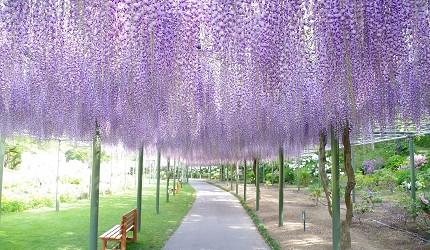 靜岡自由行景點推薦濱松市濱松花卉公園的紫藤花步道