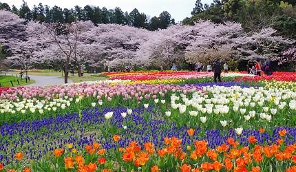 靜岡自由行景點推薦濱松市濱松花卉公園的櫻花及鬱金香庭園