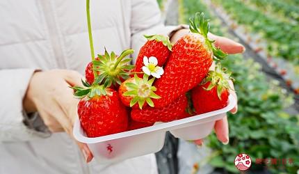 靜岡自由行濱松美食採草莓體驗章姬草莓