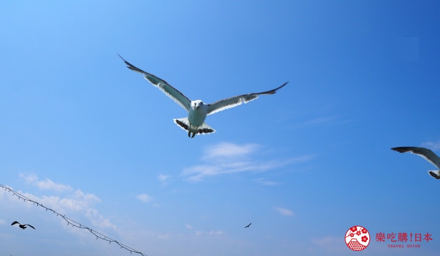 青森縣八戶屋形船與海鷗近距離接觸